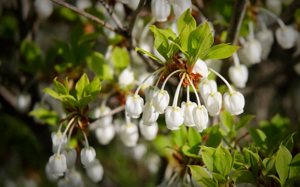 Basho's cherry blossoms (1/2)