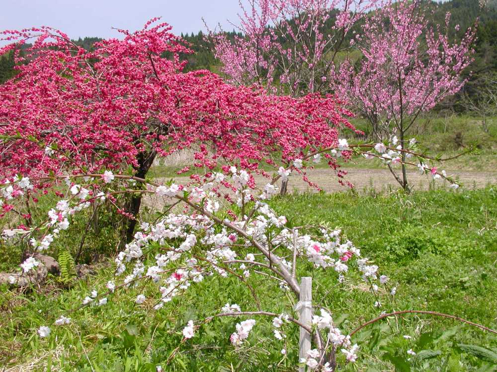 Basho's peach blossoms (3/3)