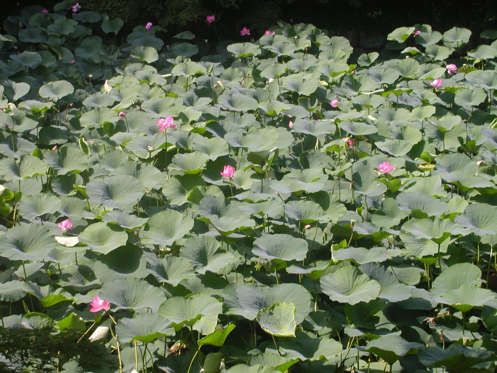 Basho's lotus flowers (4/4)