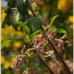 คอร์กสกรู – Strophanthus boivinii