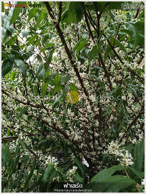 ฟาเลเรีย, Phaleria, ไม้ดอกหอม, ไม้หายาก, ไม้สะสม, มะลิต้น, ธิดาพระบาท, สาวตะกั่วป่า, ไม้ยืนต้น, ไม้พุ่ม ดอกสีขาว, ไม้ดอก, ไม้ประดับ