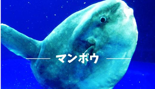 謎多き海ののんびり屋?マンボウの種類と生態について