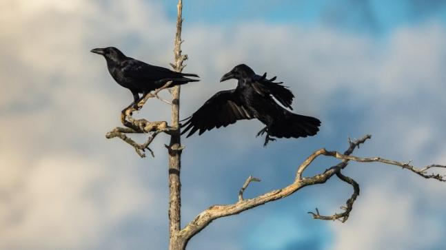 ravens and crows are