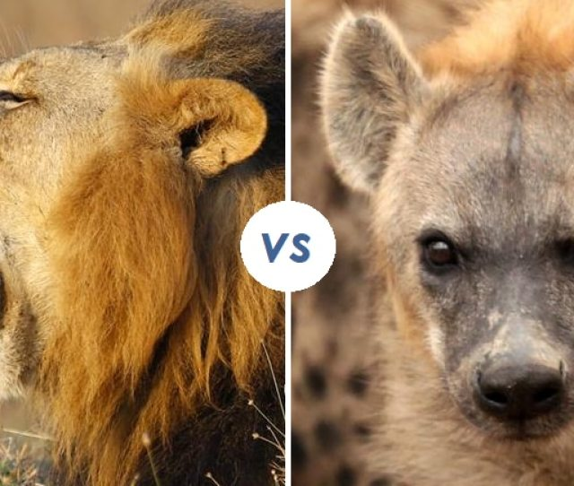 20 Hyenas Attack A Lion What Happens Next Will Make Your Jaw Drop