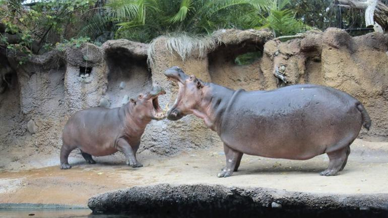 Fiona The Hippo Gets Best Birthday Surprise From Her Crush The Reactions Are Priceless