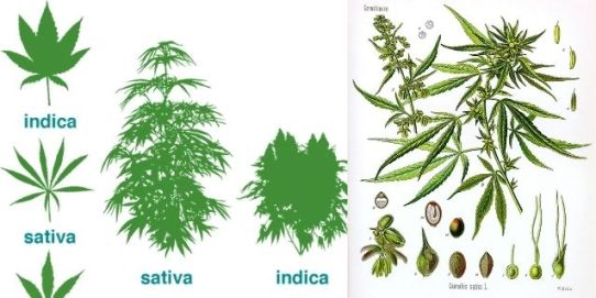 effects-of-cannabis-consumption-in-hindi