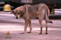 Sve manje građana pse lutalice doživljava kao ponos naših ulica [Al Jazeera]
