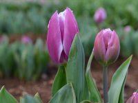 Festival tulipana u Australiji