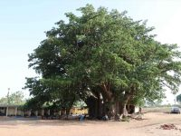 Senegal: Impozantno stablo baobaba staro 1800 godina