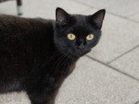 Praznovjerja među Bošnjacima: Prelazak crne mačke preko puta