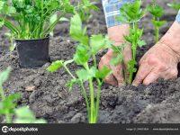 Sjetva celera: Kako uzgojiti korijenaš, a kako rebrasti?