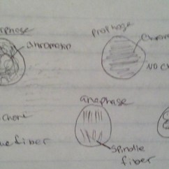 Onion Root Tip Diagram 05 Chrysler 300 Fuse Box Mitosis Lab Akosa S Ap Biology Site Labeled Diagrams Of Cells