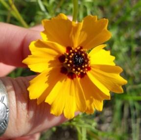 yellow flowers_natural springs_ichetucknee