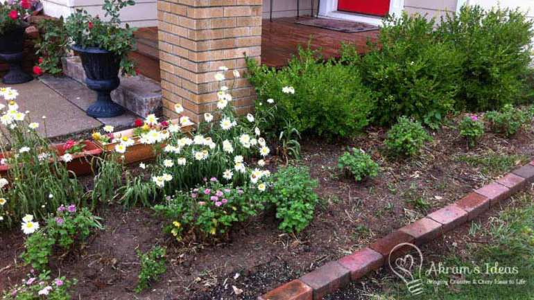 Shasta daises and mums growing in the flower bed