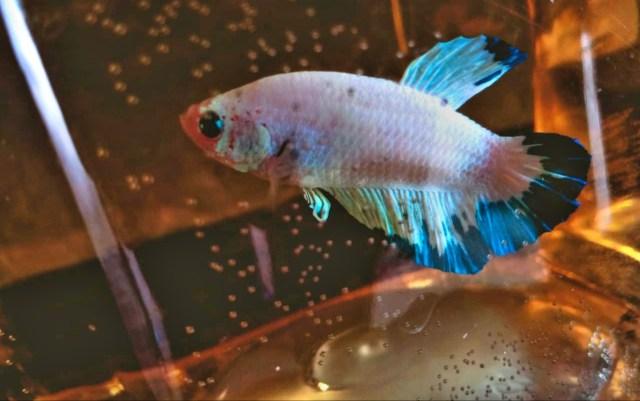 Ikan cupang hias. Foto: AksesJambi.com