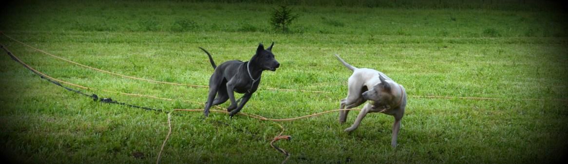 Thai Ridgeback Dogs