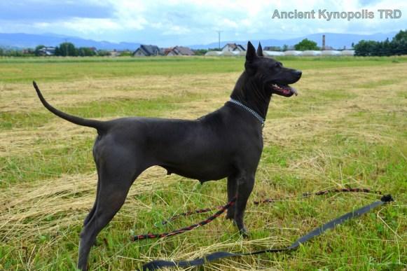 Thai Ridgeback Dog Kareena Volarius