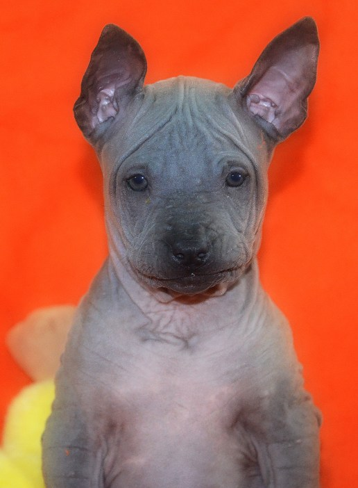 blue thai ridgeback dog puppy