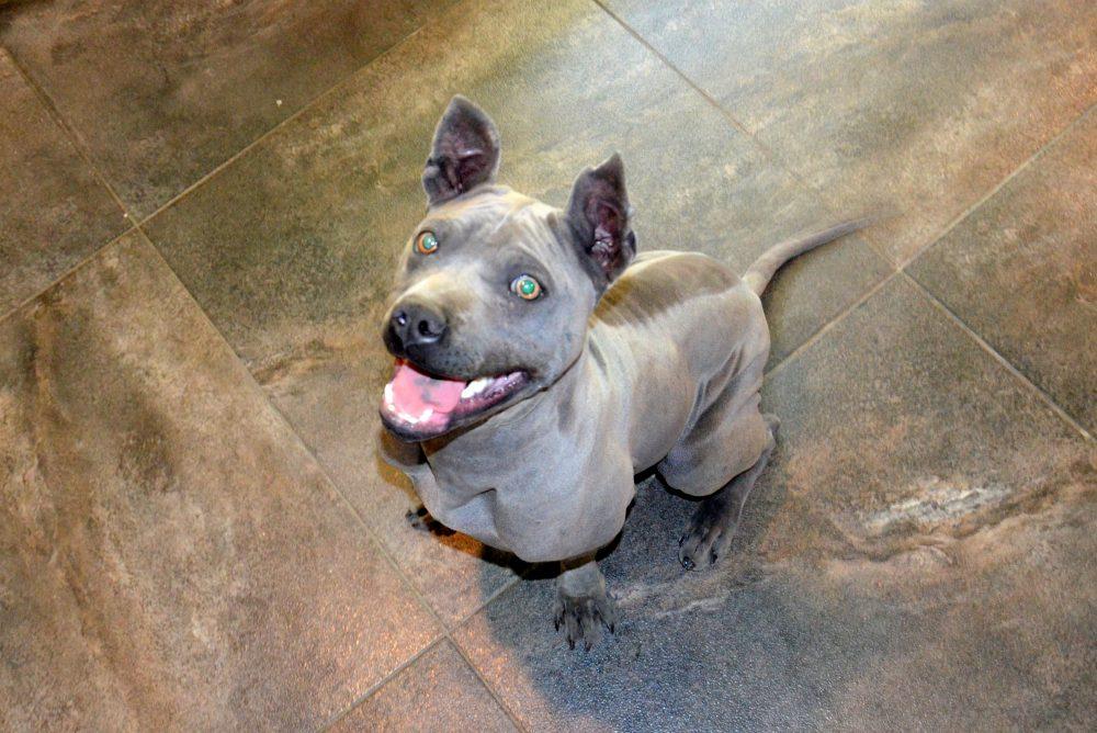 blue thai ridgeback dog puppy