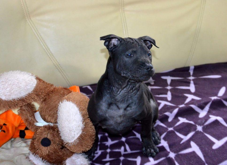 black thai ridgeback dog puppy