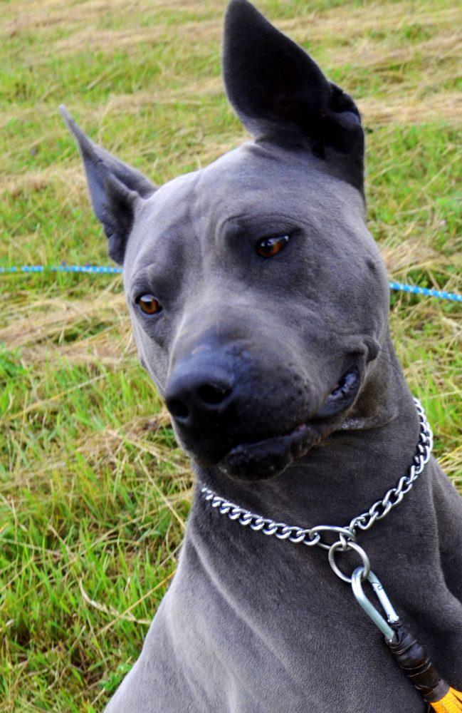 blue thai ridgeback dog
