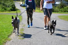 thai ridgeback dog on the lead
