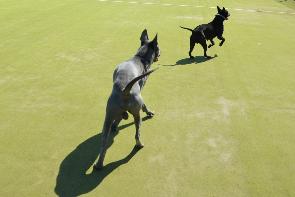 thai ridgeback dogs running