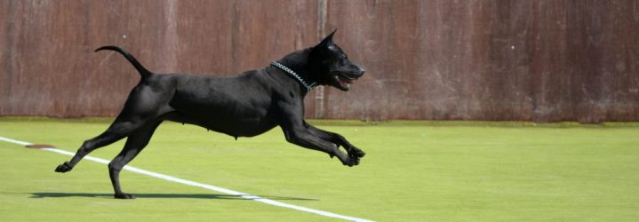 thai ridgeback dog jumping