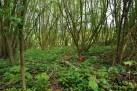 Tulpen mitten im Wald