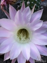 Kaktus-Blüte