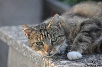 Schollener Katze
