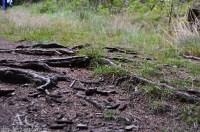 Verwurzelter Waldboden