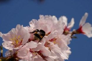 Bei blauem Himmel, angenehmen Temperaturen und blühenden Mandeln gibt es auch viele Insekten. 25.03.2012 beim Mandelblütenfest.