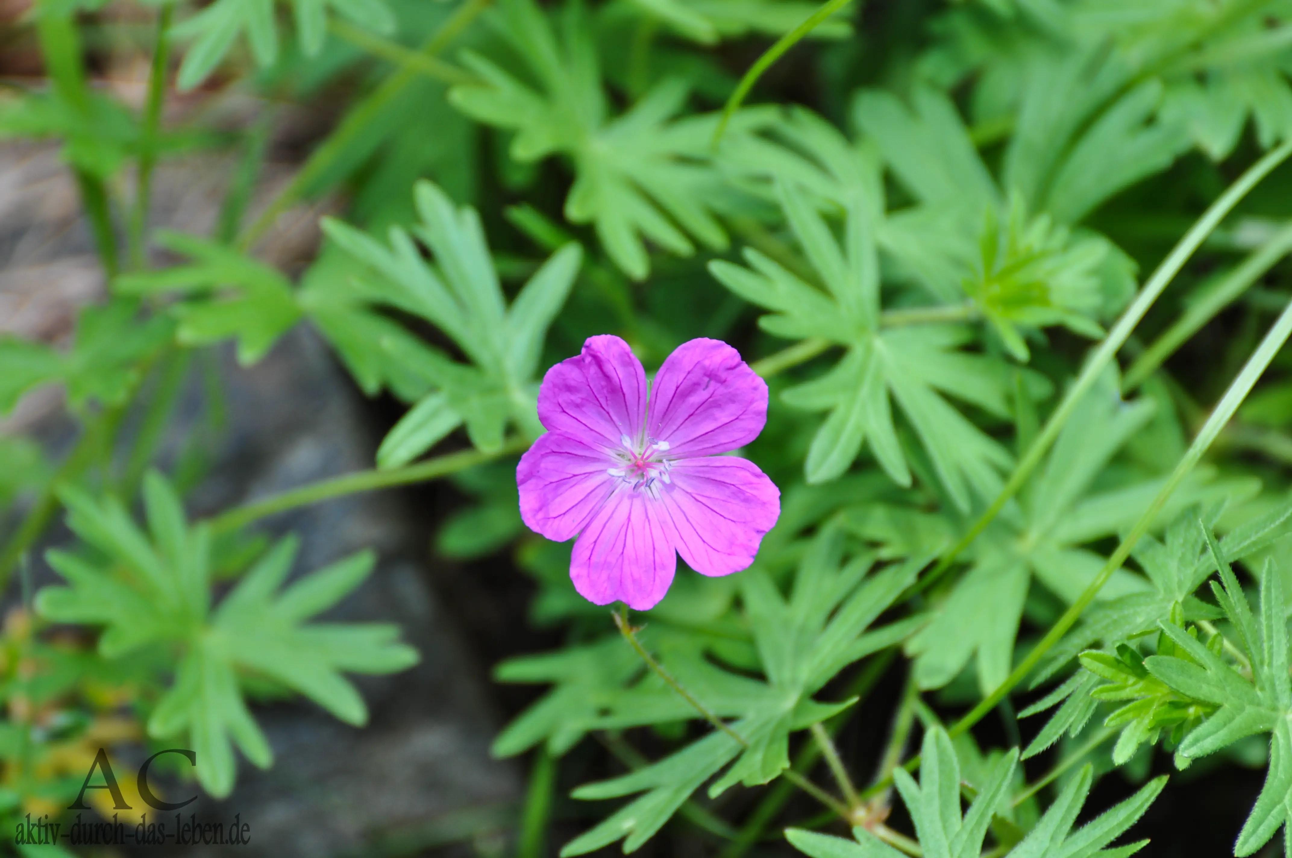 kleine lila Blume