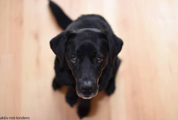 schwarzer Labrador