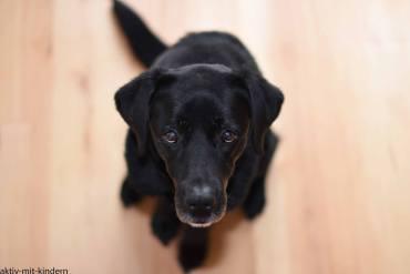 Schwarzer Labrador Retriever aus Arbeitslinie
