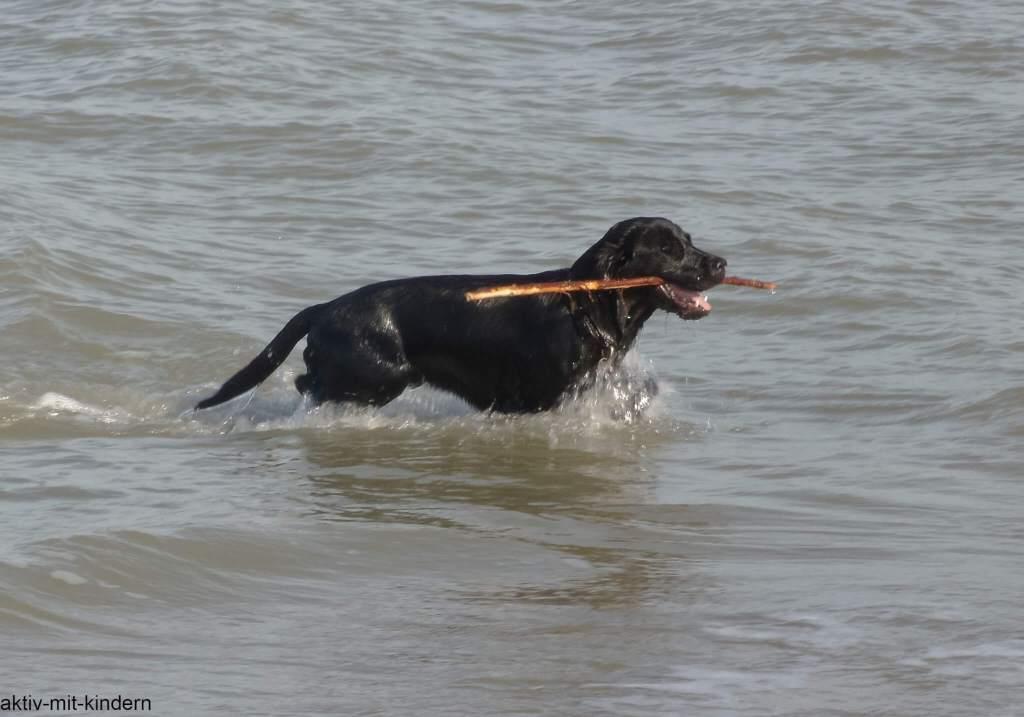 Field Trial Labrador beim Wasserapport