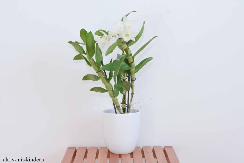 Orchidaceae - Orchideengewächse