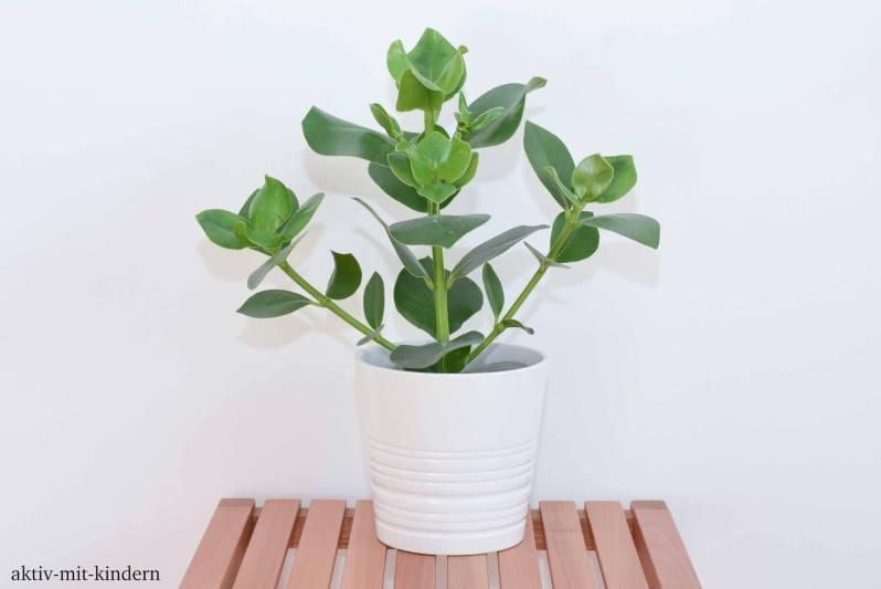 Clusia rosea - Balsamapfel