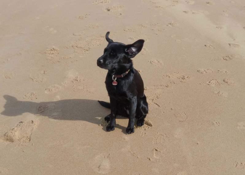 Labrador im Urlaub am Strand