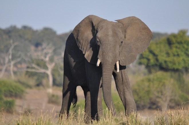 elefantul-african1