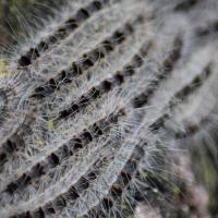 Befall durch Eichenprozessionsspinner gering - bei Sichtung umgehend melden