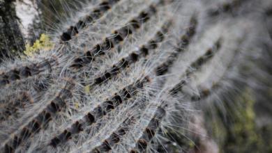 Photo of Befall durch Eichenprozessionsspinner gering – bei Sichtung umgehend melden