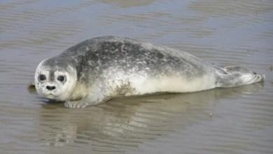 Bild von Neuer Rekord bei Seehundzählung im Wattenmeer zwischen Ems und Elbe