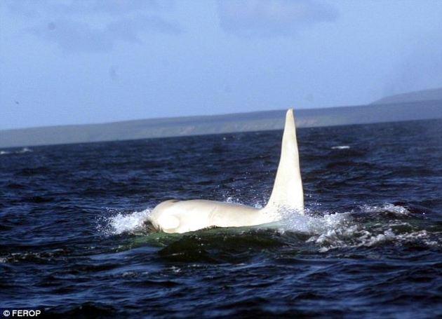 Albino Katil Balina - Orcinus orca