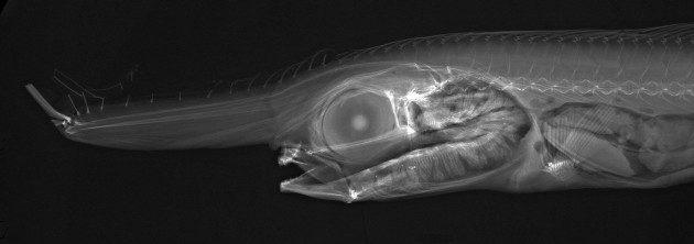 Balıkların X-ray Görüntüleri - Eumecichthys fiski