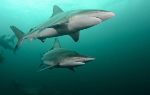 Köpekbalığı - Carcharhinus limbatus