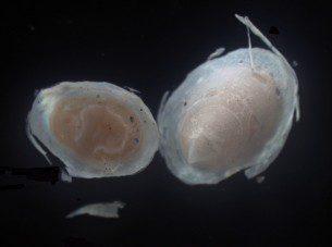Osteopeltid limpets