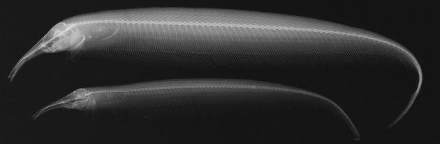 Balıkların X-ray Görüntüleri - Sternarchorhynchus retzeri