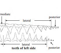 Çene ve Diş Yapısı
